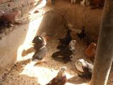 Продам породистых голубей